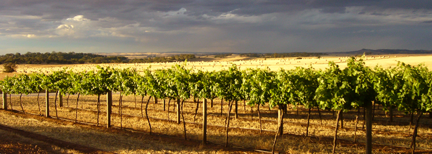 vineyard_new