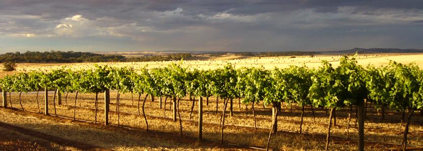 vineyard_new